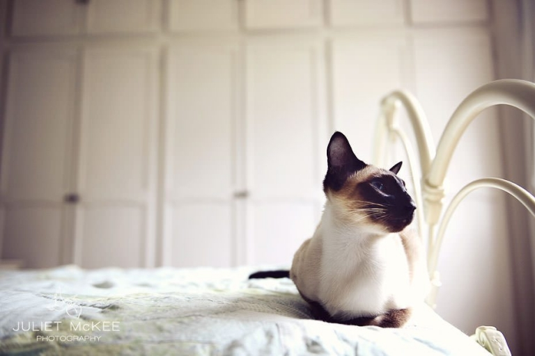 Pride - My Siamese Cats 1