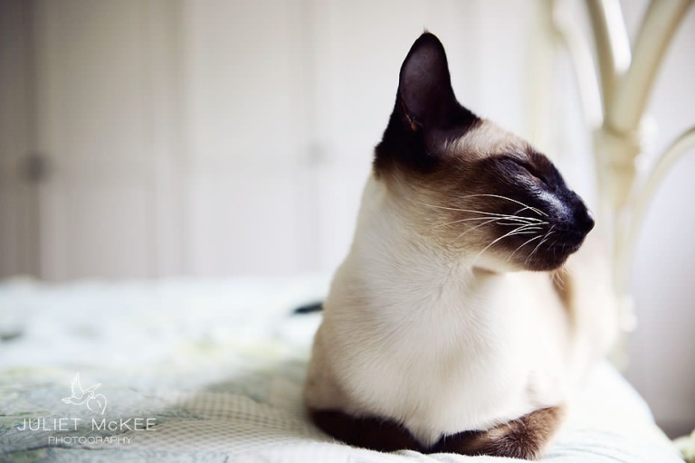 Pride - My Siamese Cats 2
